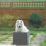 "The ""tubsamoyed"""